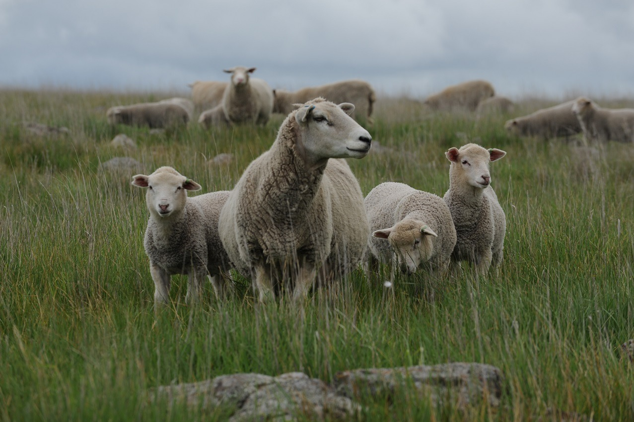 DSC 5895 Blue Tag Highlander Ewe (4yr) with Triplet Glendemar (Merino) Lambs