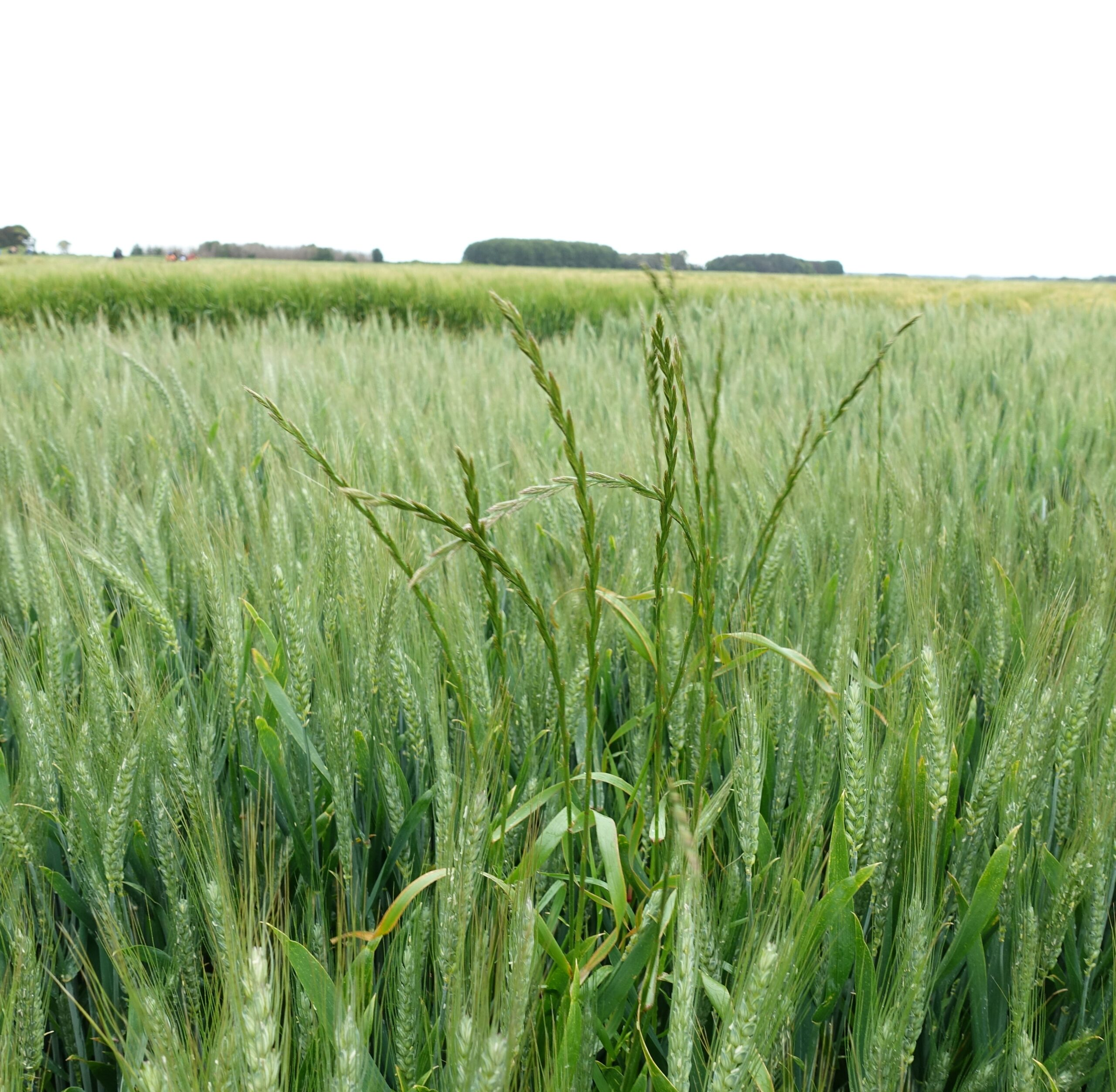 Fig 16 Ryegrass in Crop